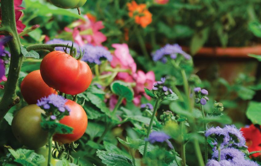 Atlanta Botanical Garden tomato and vine image