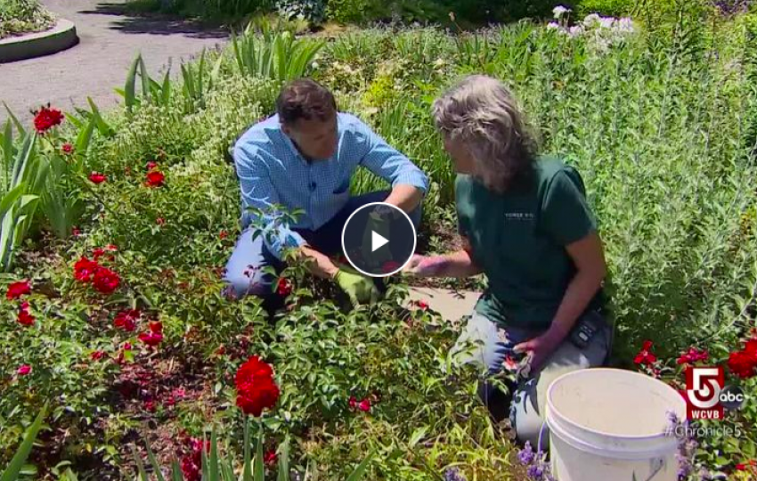 Tips on the proper care of roses throughout the year