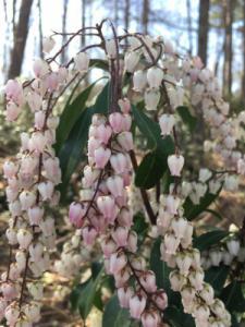 Bartlett Ericaceae Collection (Pieris in flower)